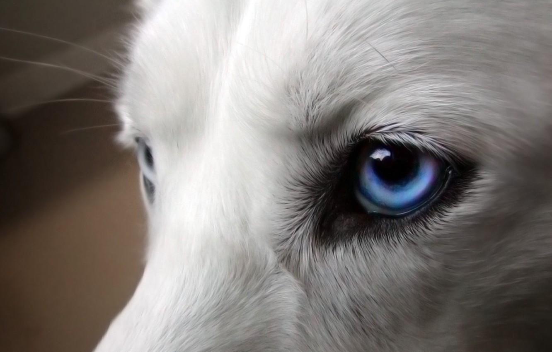 Photo wallpaper white, look, animal, dog