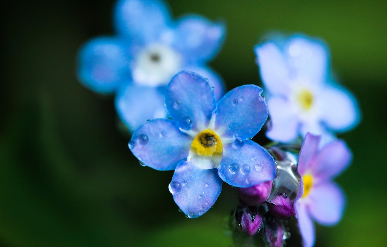 Photo wallpaper flower, drops, macro, Rosa, field, blue, forget-me-not