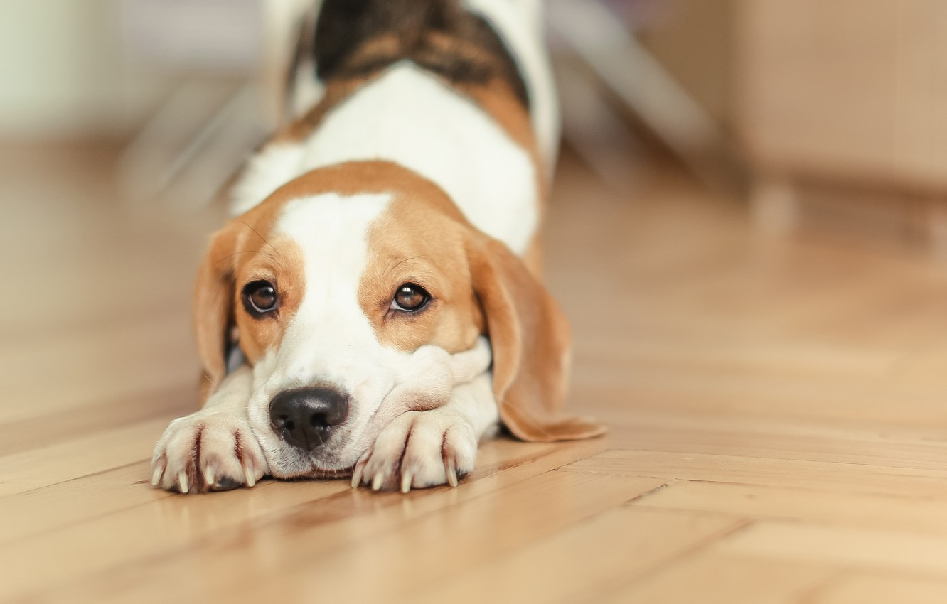 Photo wallpaper dog, puppy, puppy, dog, pet, dogs, Beagle, beagle, snappy, pup, snoopy, Snoopy