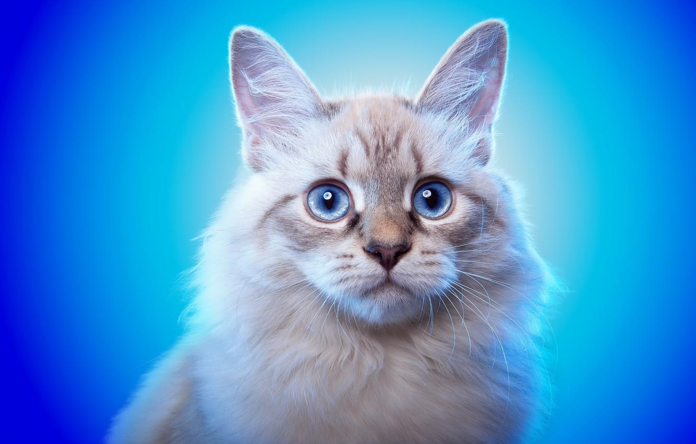 Photo wallpaper cat, look, background, animal, blue eyes, ears