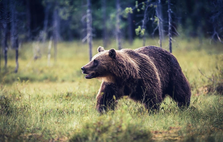Photo wallpaper summer, nature, bear