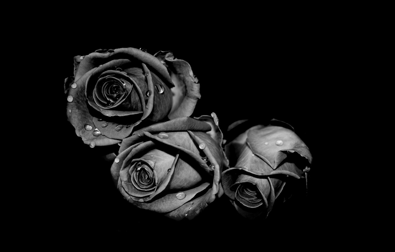 Wallpaper White Drops Grey Black Roses Images For