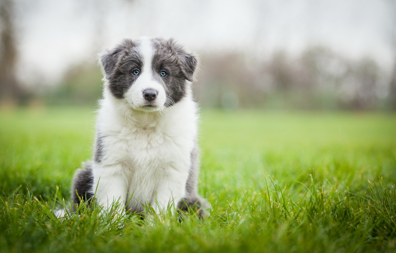 Photo wallpaper field, grass, dog, meadow, puppy, Wallpaper from lolita777, Aussie, grey with white
