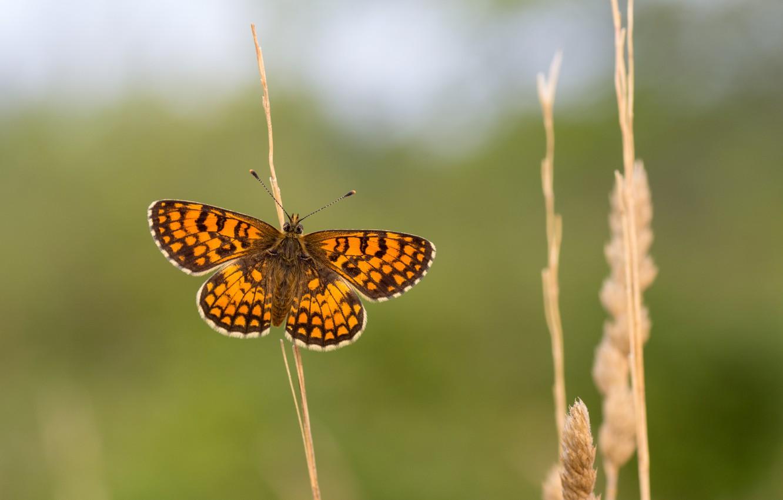 Обои petals, open wings, wings, Butterfly, flower, proboscis, antennae. Макро foto 17
