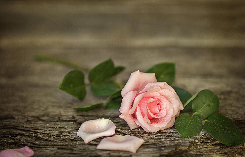 Photo wallpaper flower, water, drops, Board, rose, petals