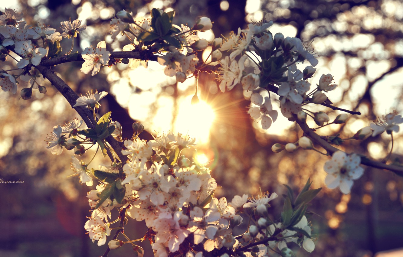 Photo wallpaper the sun, sunset, flowers, branches, cherry, tree