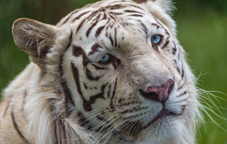 Photo wallpaper cat, look, face, blue eyes, white tiger, ©Tambako The Jaguar