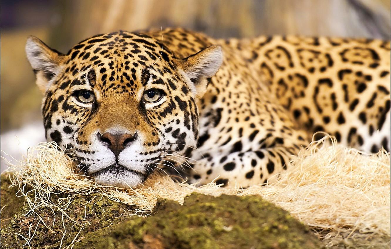 Photo wallpaper mustache, look, face, predator, Jaguar, spot