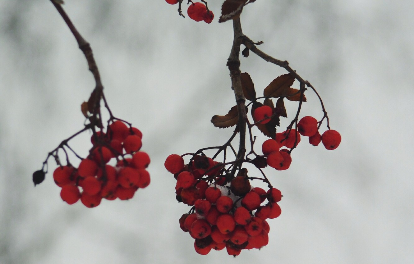 Photo wallpaper winter, berries, Rowan