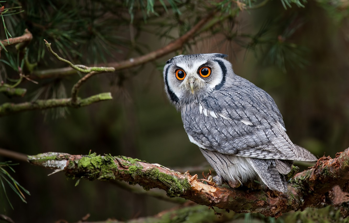 Photo wallpaper forest, look, tree, owl, bird, branch, sovushka, White-faced scoop