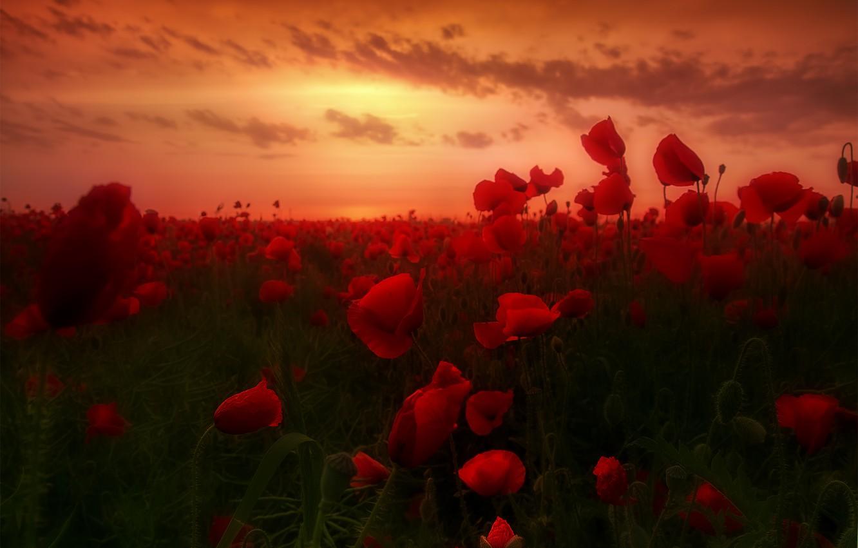 Photo wallpaper dawn, Maki, dawn, poppies, poppy field, poppy field