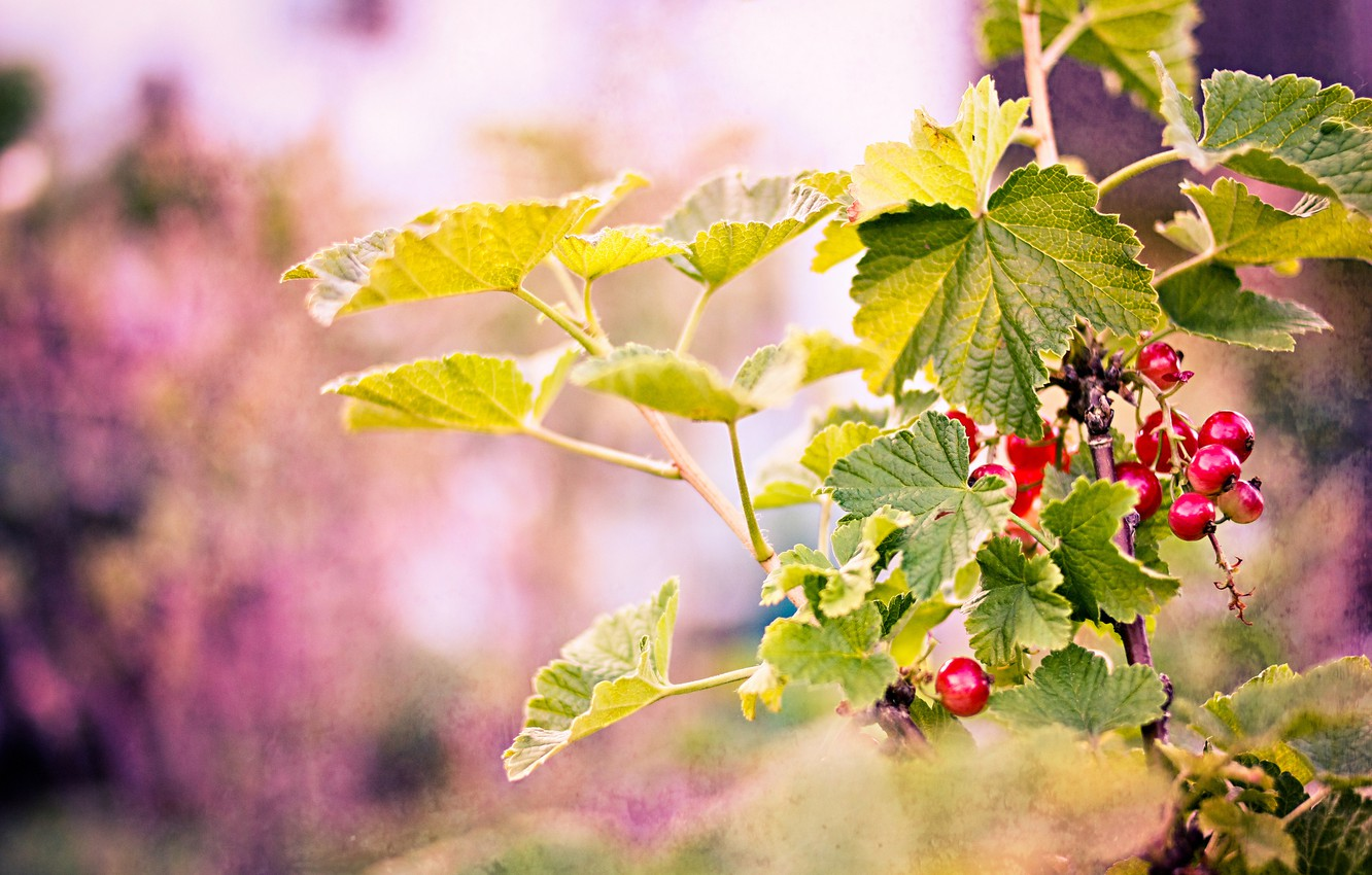 Photo wallpaper leaves, branches, berries, background, red