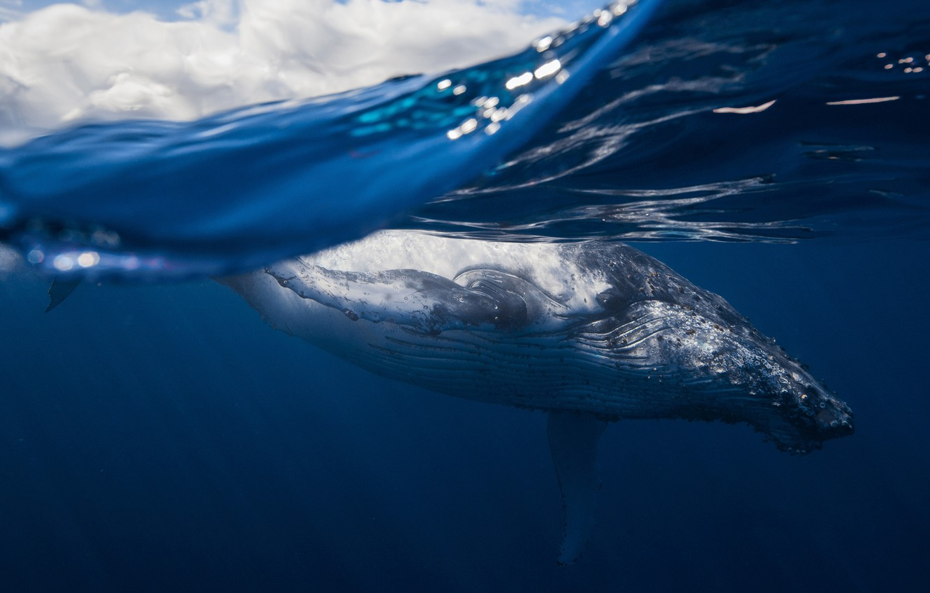 Photo wallpaper sea, the ocean, mammal, humpback whale