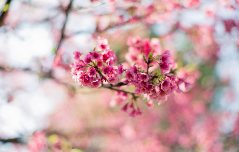 Photo wallpaper flowers, branches, tree, spring, Sakura, pink, flowering, bokeh