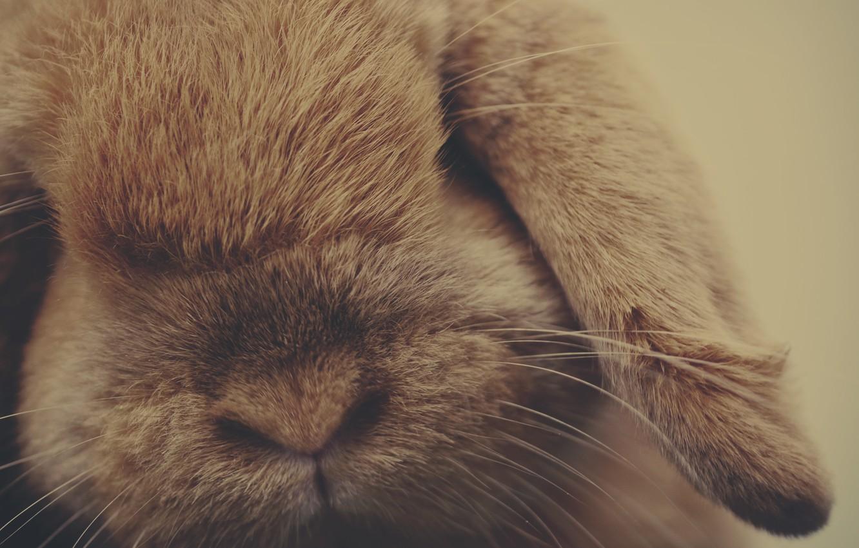 Photo wallpaper animal, wool, rabbit