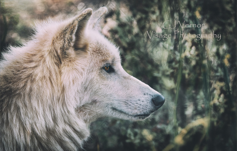 Photo wallpaper nature, wolf, GJ-Vernon
