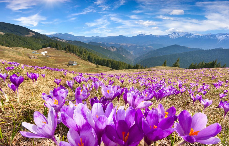 Photo wallpaper the sky, the sun, flowers, mountains, spring, crocuses, landscape, nature, meadows