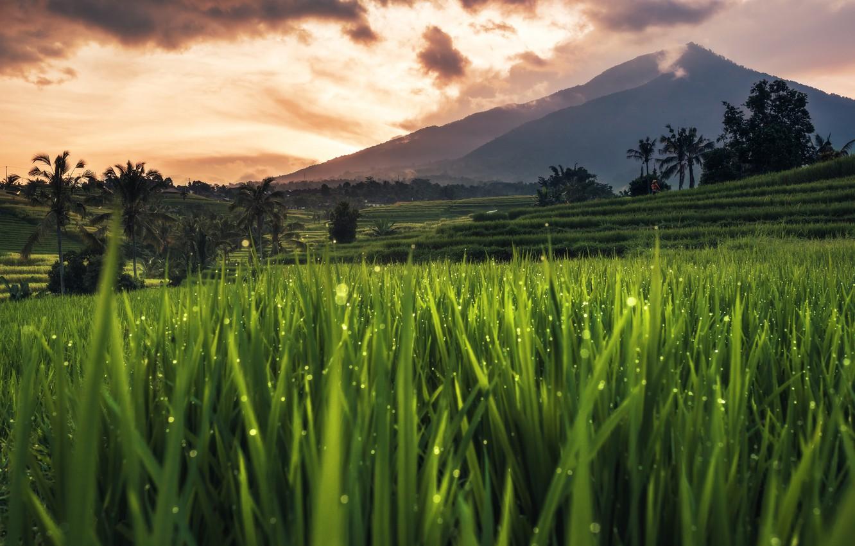 Wallpaper Bali, Indonesia, rice field images for desktop ...