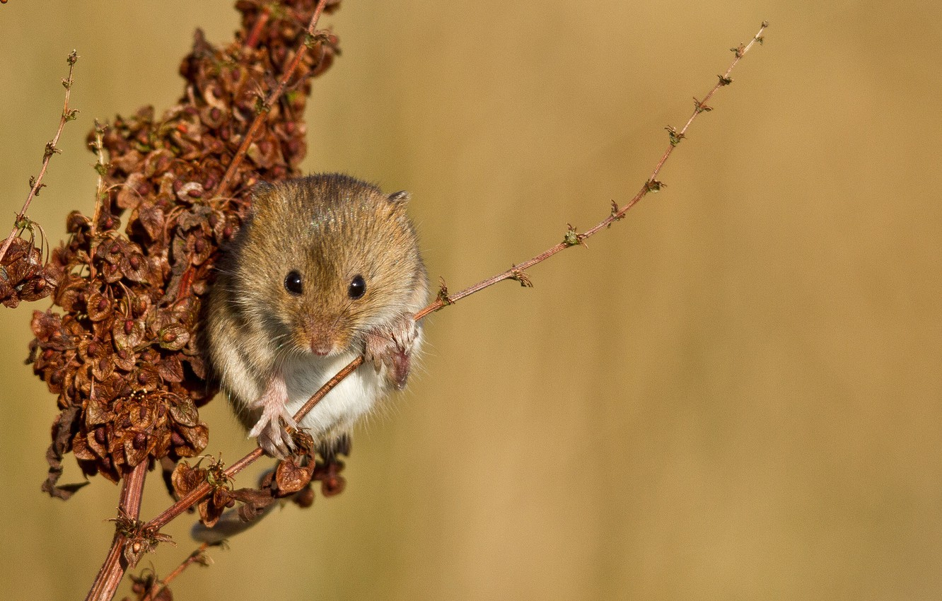 Photo wallpaper plant, branch, mouse, red, vole
