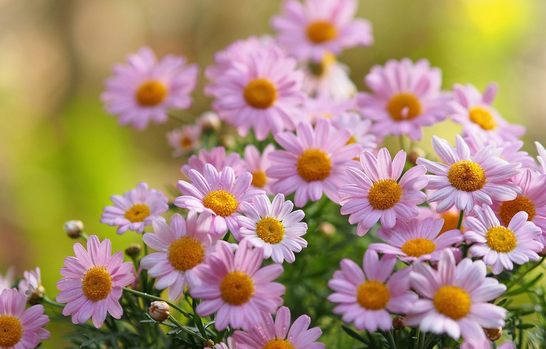 Photo wallpaper chamomile, petals, blur, pink