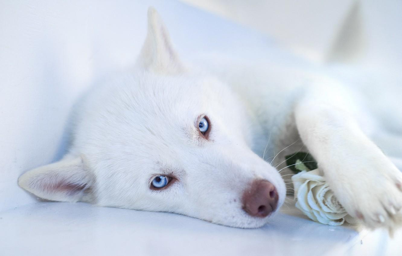 wallpaper face dog white husky