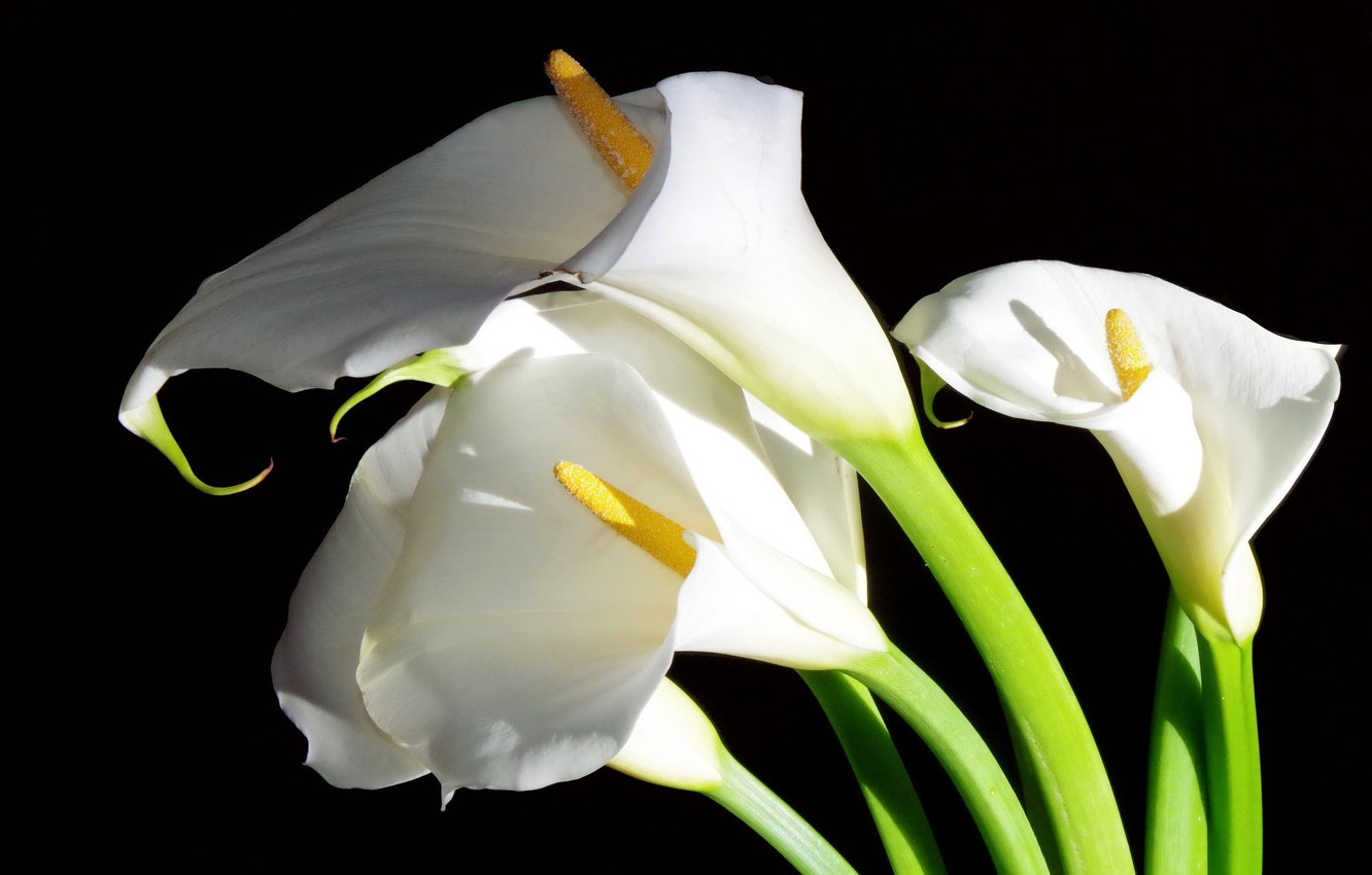Photo wallpaper flowers, white, Calla lilies, black background
