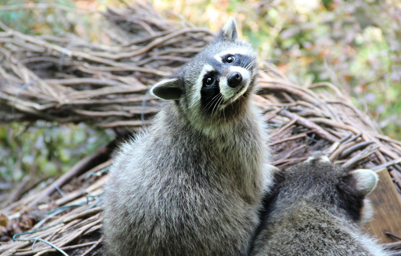 Photo wallpaper mustache, animal, raccoon, looks