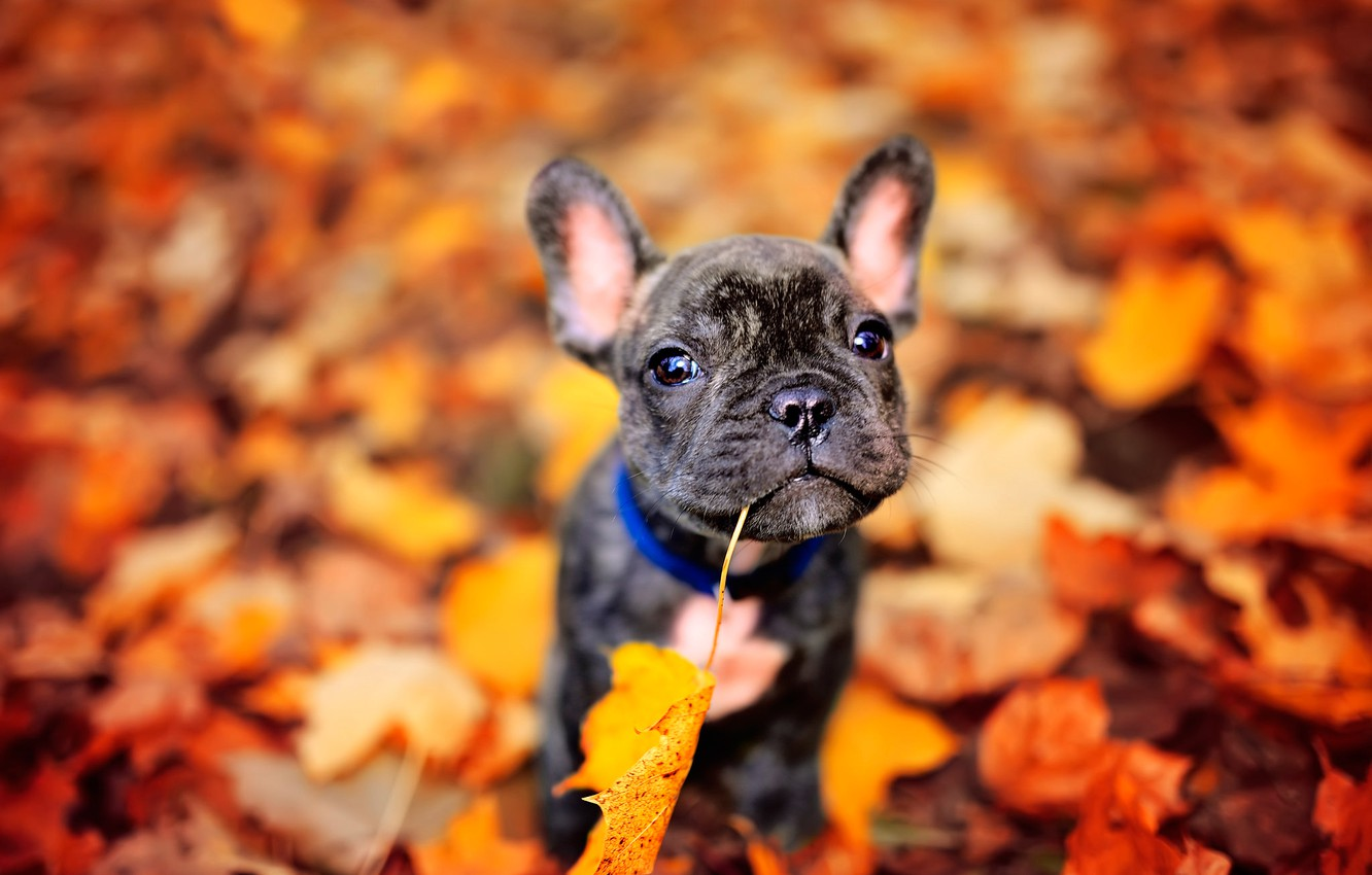 Photo wallpaper autumn, leaves, dog