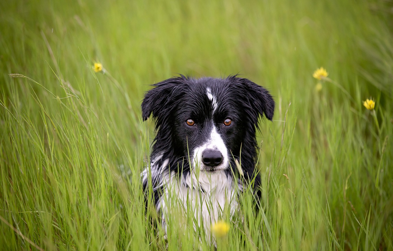 Photo wallpaper grass, look, each, dog
