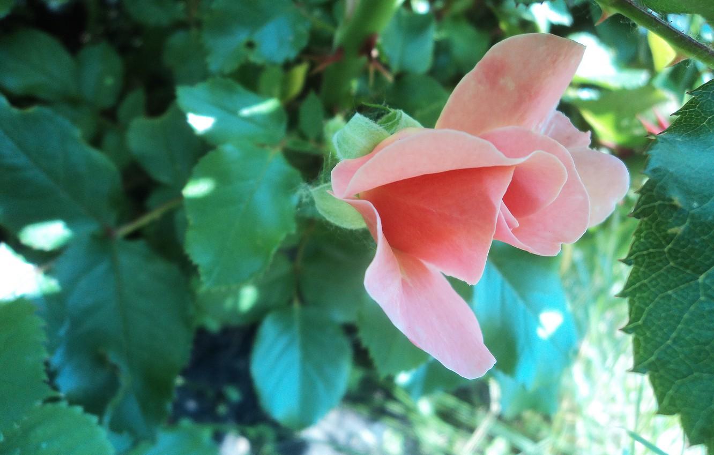 Photo wallpaper flowers, pink, Rose, unique rose