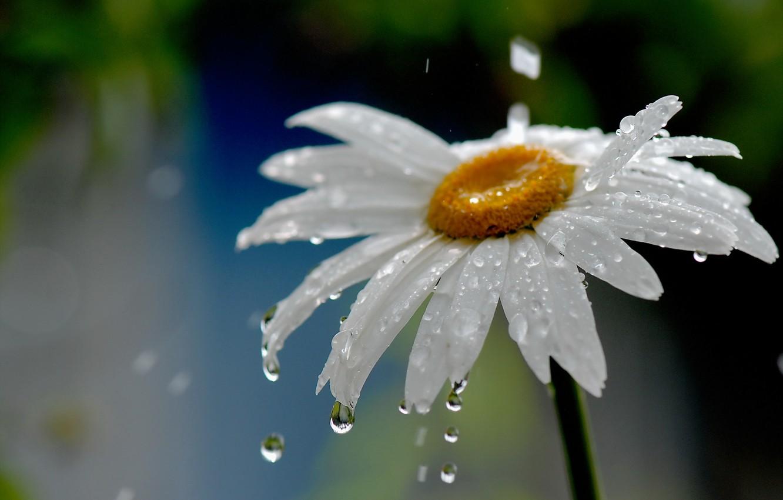 Photo wallpaper flower, water, drops, nature, rain, Daisy