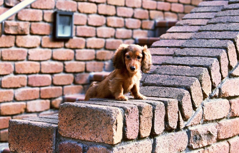 Photo wallpaper Dog, Look, Wall, Bricks