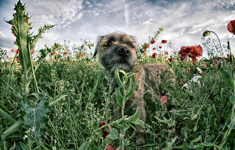 Photo wallpaper field, Maki, dog