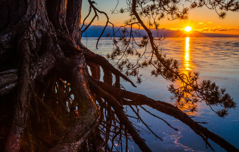 Photo wallpaper the sun, roots, lake, tree, pine, Michigan