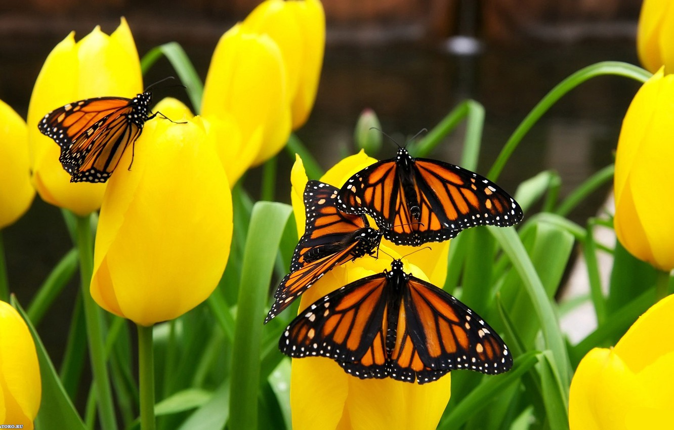 Photo wallpaper butterfly, nature, tulips