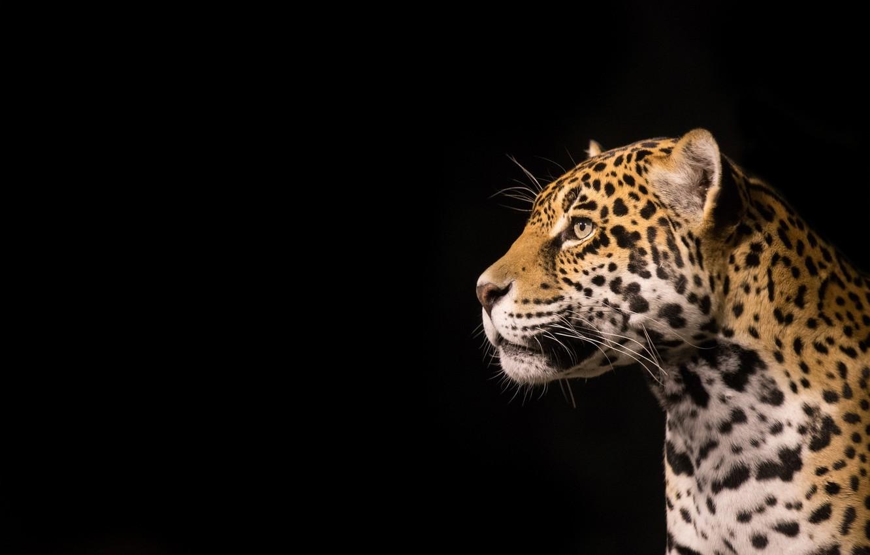 Photo wallpaper face, predator, Jaguar, profile, wild cat, the dark background