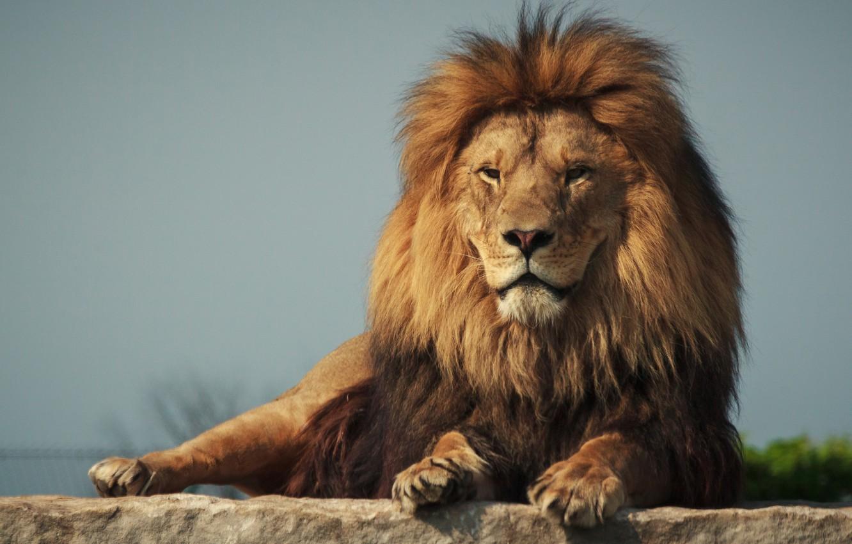 Photo wallpaper cat, background, predator, Leo, mane