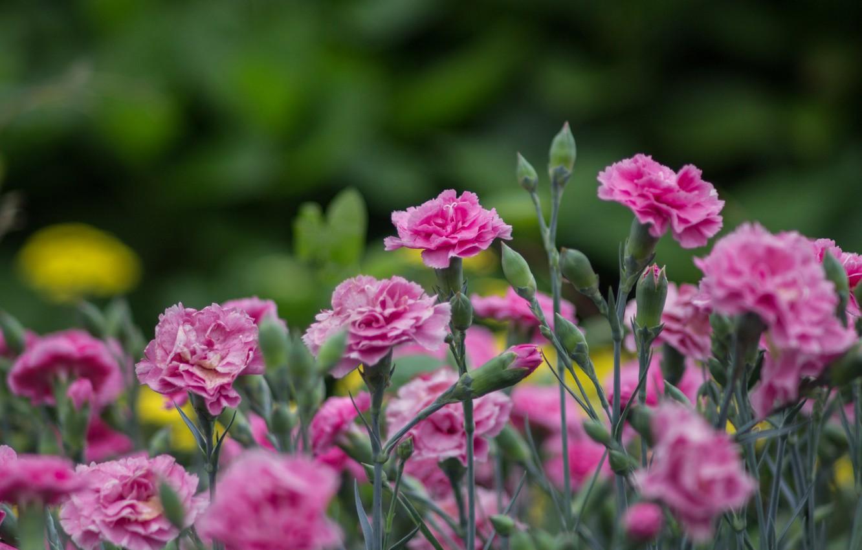 Photo wallpaper flowers, pink, carnation