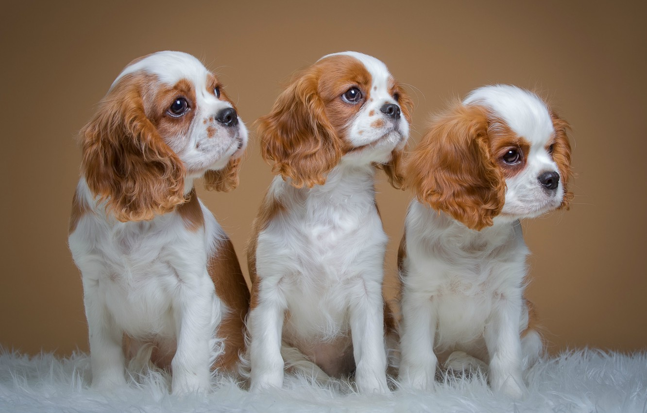 Photo wallpaper puppies, trio, spotted, spaniels