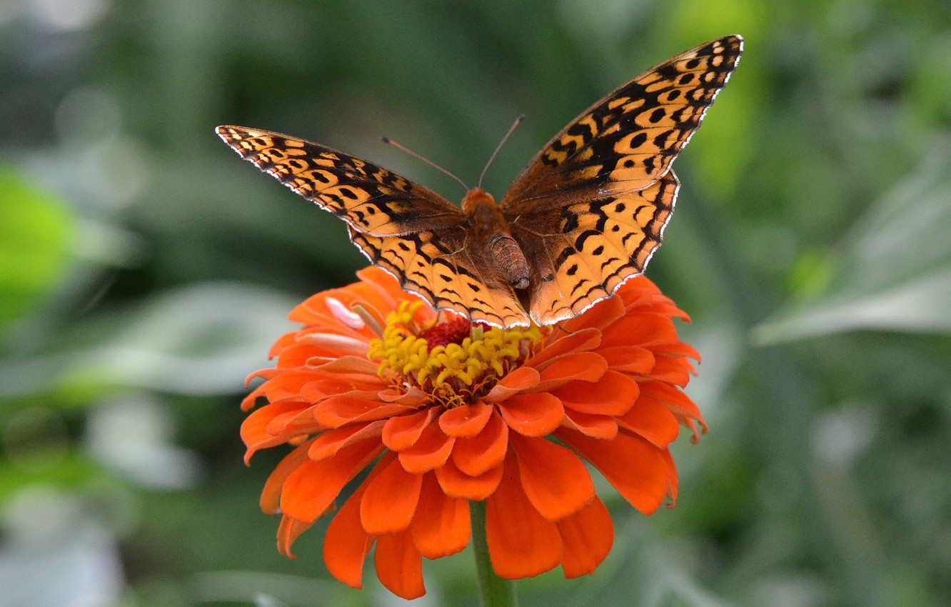 Photo wallpaper flower, butterfly, wings, insect