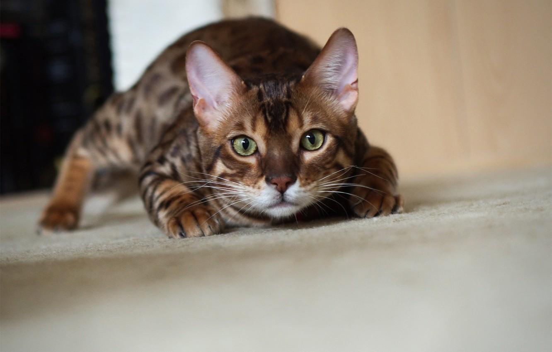 Photo wallpaper cat, sneaks, Kote, Bengal