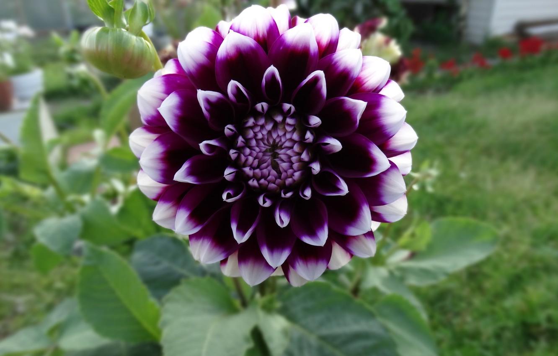 Photo wallpaper flower, garden, Dahlia, the garden