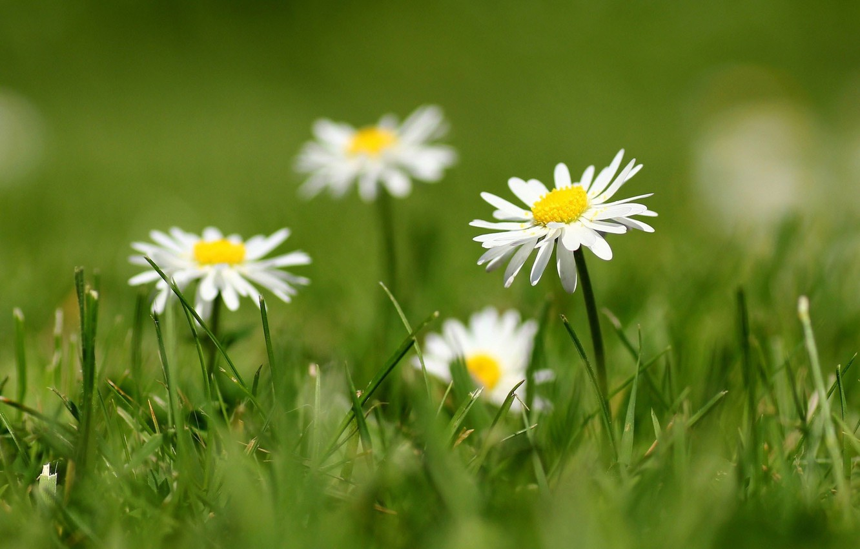 Photo wallpaper grass, petals, blur, white, Daisy