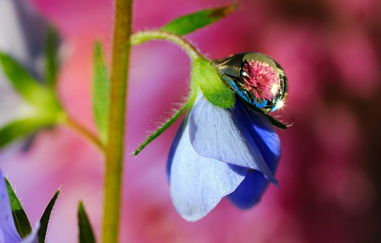 Photo wallpaper macro, flowers, blue, Rosa, drop