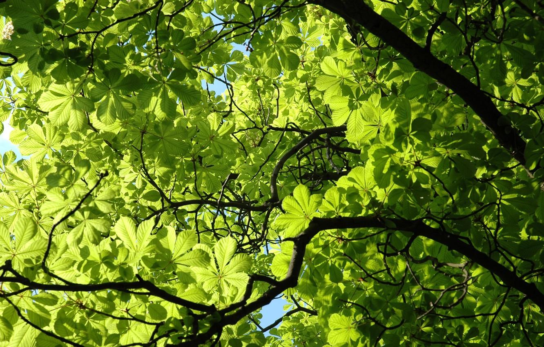 Photo wallpaper greens, leaves, green, plant, branch, spring, chestnut