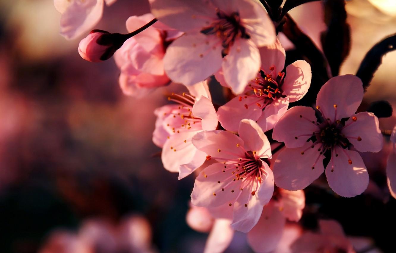 Photo wallpaper macro, flowers, cherry, branch, spring, Sakura, pink, flowering