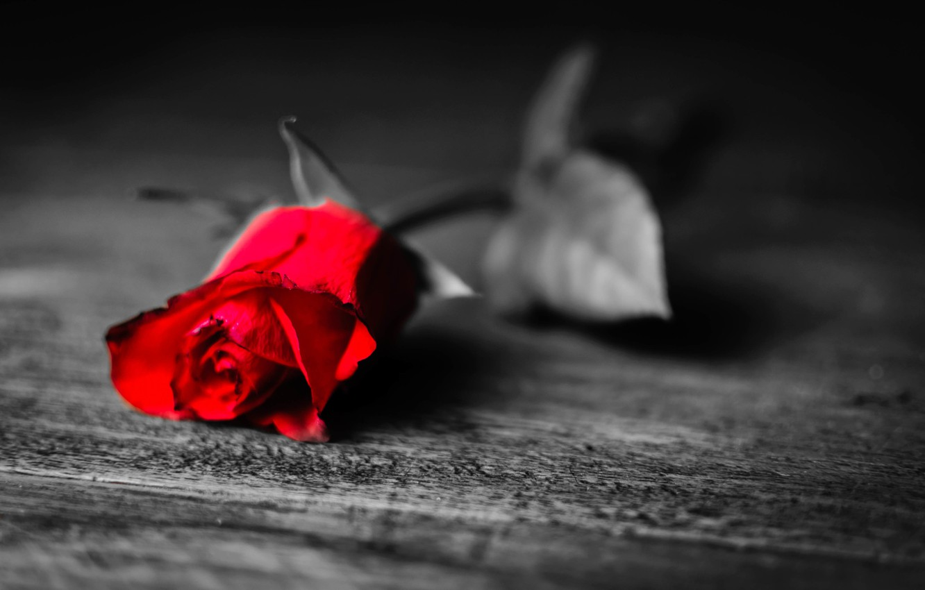 Photo wallpaper leaves, flowers, loneliness, background, black and white, Wallpaper, rose, petals, leaf, red, longing, widescreen, full …