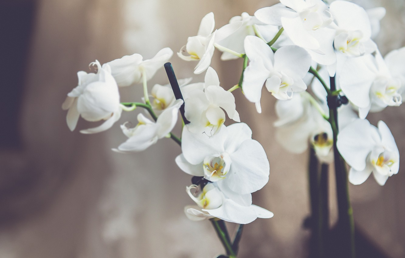 Photo wallpaper flowers, white, orchids