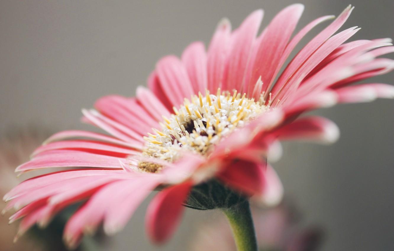 Photo wallpaper petals, pink, gerbera