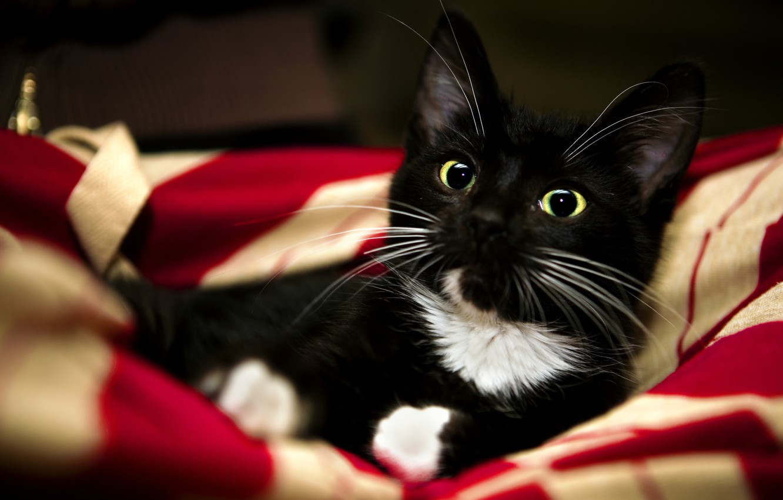 Photo wallpaper cat, white, red, kitty, animal, black, paws, sweet, blanket, red, white, black, kitten, cat, animal, …
